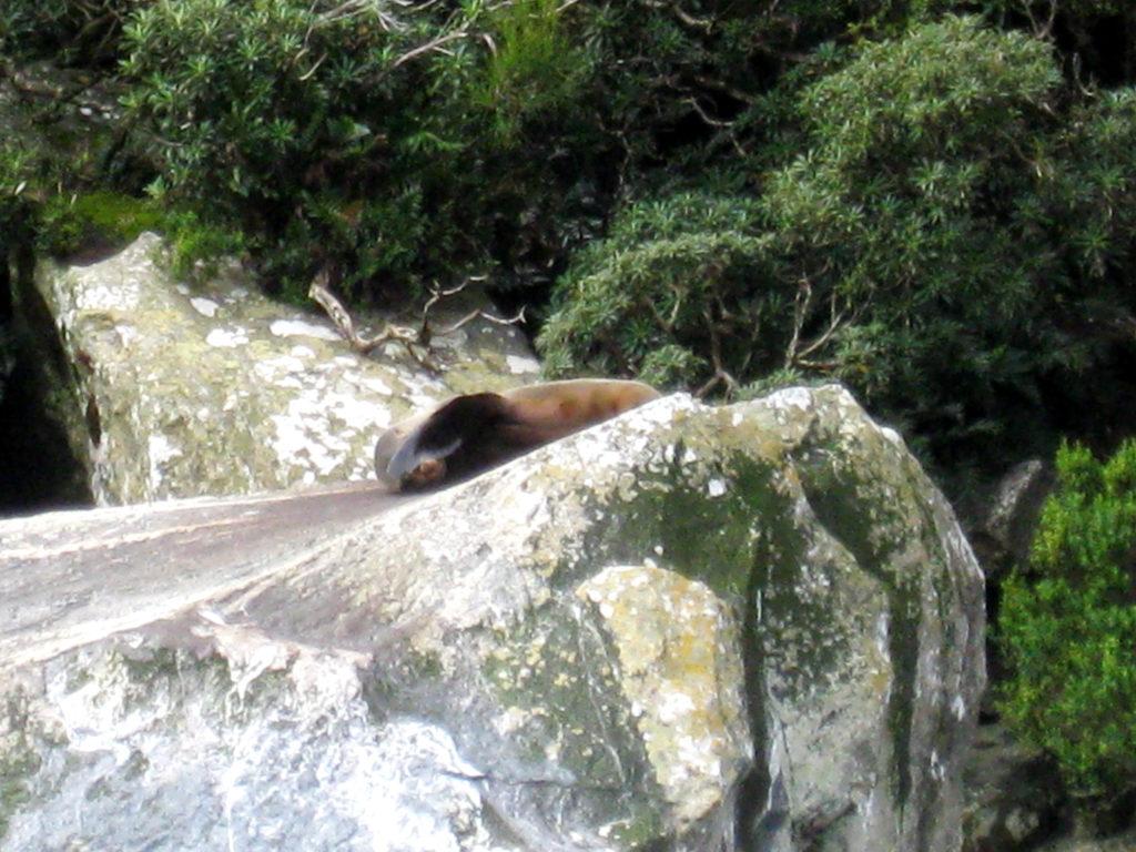 Robbe auf Stein Milford Sound