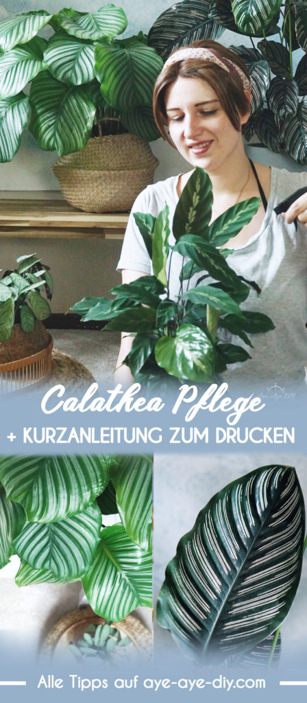 Pinterest Pin: Calathea Pflege Tipps auf Pinterest merken