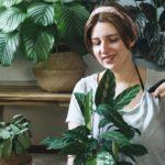 Calathea Pflege Tipps für die Arten Orbifolia,, Ornata & Co.