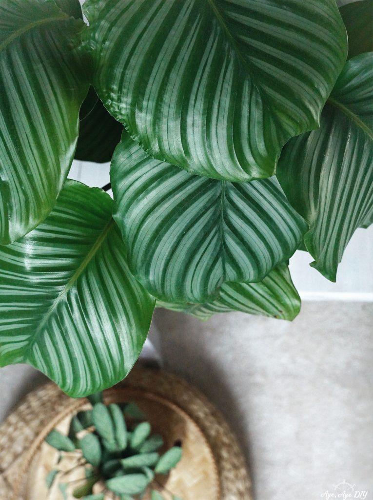 Calathea Orbifolia Pflege Tipps